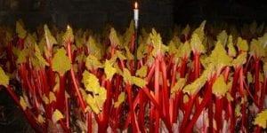 Forced Rhubarb stalks