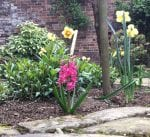 Pink hyacinths & large daffodils in bloom. In Shaws secret garden